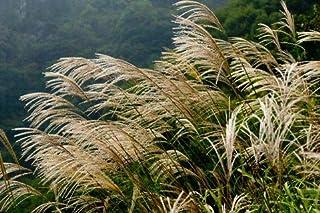Elwyn 10pcs Miscanthus sinensis Adagio Maiden Grass Plant Seeds