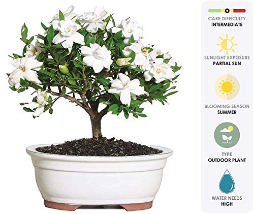 Brussel's Bonsai Live Gardenia Outdoor Bonsai Tree-4 Years Old 6' to 8' Tall with Decorative Container-Not Sold in Arizona, Medium