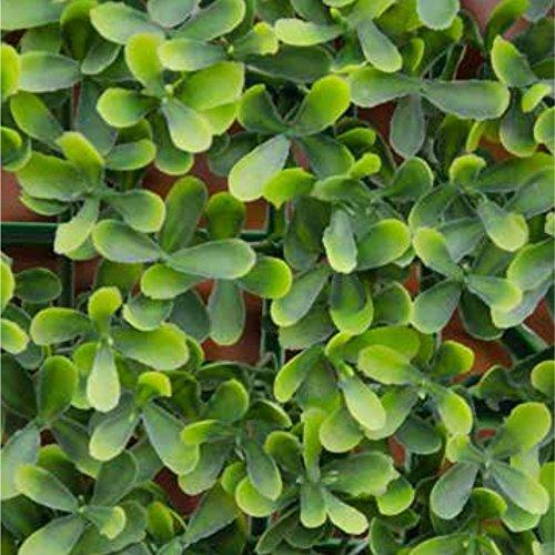 VERDELOOK Sempreverde a Foglia Buxus Multicolore per arredo Giardino 1x1 m