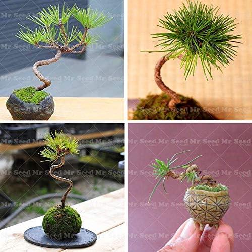 Tomeco 20 Maple Tree Plant Quality Seed New unisex item Japanese