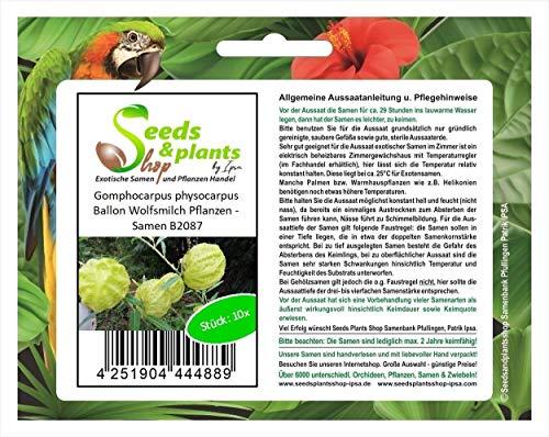 Stk - 10x Gomphocarpus physocarpus Ballon Wolfsmilch Pflanzen - Samen B2087 - Seeds Plants Shop Samenbank Pfullingen Patrik Ipsa