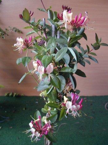 Wald Geißblatt Serotina, Lonicera periclymenum Serotina 80 cm hoch im 3 Liter Pflanzcontainer