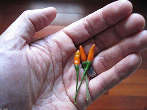 Pepper,Siling Labuyo,(10 Seeds) Filipino Bird's Eye Chili Very Rare,Super Hot!