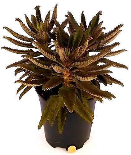 KALANCHOE DAIGREMONTIANA, echte Pflanze