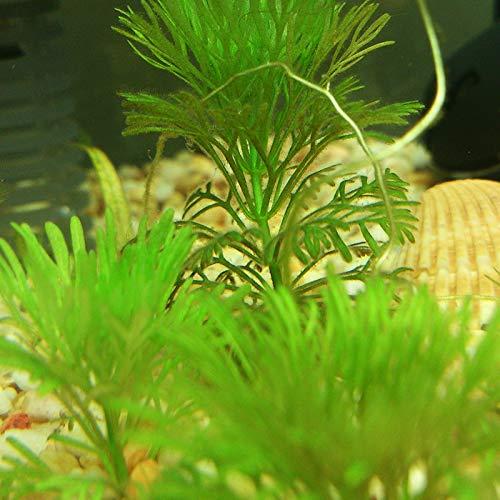 HONIC 1000 Stück Indispensable Aquarium Pflanzen viele Wassertiere sind Schutz und Schutz Pflanzen Bonsai Zufuhr von Sauerstoff