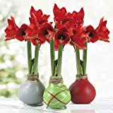 Waxed Amaryllis Bụlbs Collection (3-Pack)