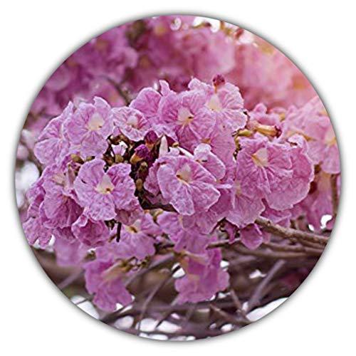 Trompetenbaum (Tabebuia impetiginosa) - ca. 10 Samen