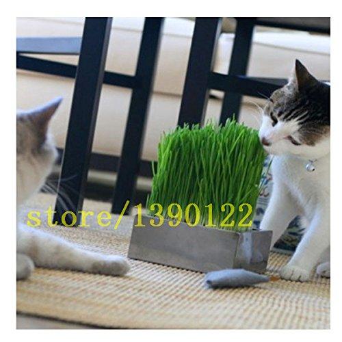 200 pcs graines CAT herbe herbe graines de plantes herbe maison de jardin Feuillage de blé menthe odeur