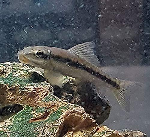 Best Algae Eating Fish For Freshwater Aquariums