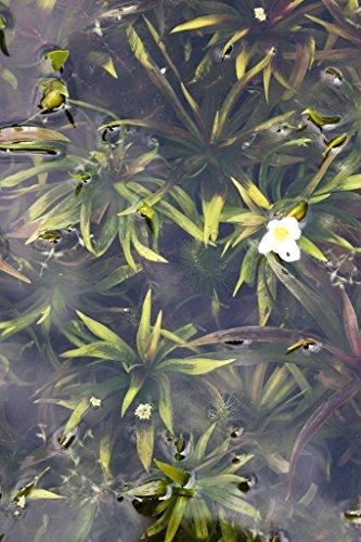 Wasserpflanzen Wolff - Klärpflanze! - Stratiotes aloides - Krebsschere - Wasseraloe