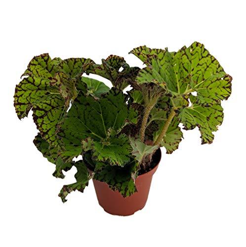 Smiling Tiger Begonia Plant - 3.7' Pot -Terrarium/Fairy Garden/Houseplant/Bonsai