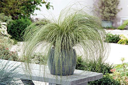 3 x Carex comans 'Amazon Mist' 1 Liter (Ziergras/Gräser/Stauden) Neuseeland Segge ab 3,19 € pro Stück