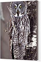 Media Storehouse 20x16 Canvas Print of Great Gray Owl, Pine City MN Perched on Aspen (5781436)