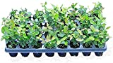 6 Blueberry Bush Plants 4' to 8' / 500ct Blueberry Seeds & 1 Cranberry Plant