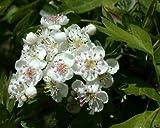 Hawthorn - Crataegus Weißdorn - 1 Pkt von 25 samen -...