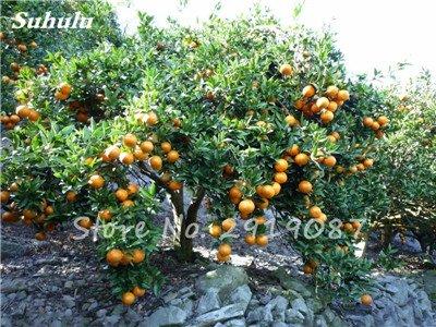 20 Pcs Chine Escalade Graines d'Orange Aucune ogm Bonsaï Kumquat Tangerine Citrus pot fruit délicieux jus d'orange Faire 3
