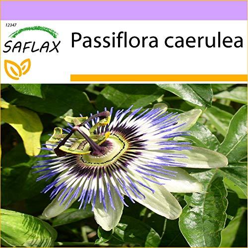 SAFLAX - Passiflore bleue - 25 graines - Passiflora caerulea