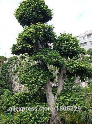 Livraison gratuite Big 50pcs de promotion de haute qualité graines Ficus microcarpa rares semences d'arbres