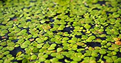 Floating Duckweed Plants (100 Pieces)