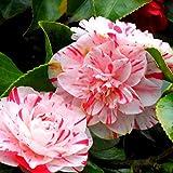Future Exotics Echte Kamelie Camellia Rossa winterhart 20-30 cm