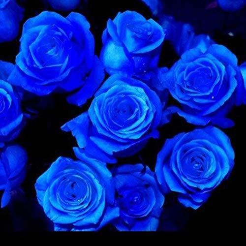 TOYHEART 100 Piezas De Semillas De Flores De Primera Calidad, Semillas De Rosas, Dulces De Alta Tasa De Germinación, Plantas Perennes, Bonsai, Semillas De Flores De Rosas para Jardín Azul