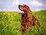 DIY 5D Diamond Painting Numbering Kit Red Irish Setter Dog Pet Animal Nature Field Meadow Grass Sky Summer 14' X 20' Adult Children Rhinestone Cross Stitch Painting Kit for Home Decoration