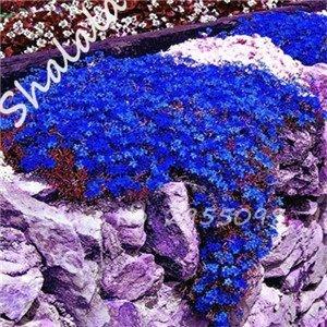 Rare Semi di Fiore 100 Pz Aubrieta Semi Superb perenne Terra Copertura vegetale - Rock Cress Semi Tropicale Piante Ornamentali 4