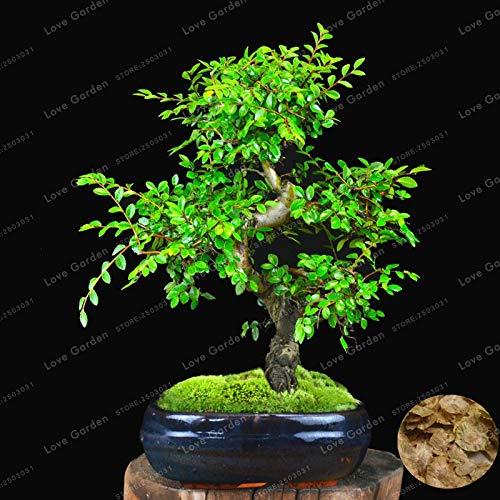 Pinkdose Chinesische Ulme Bonsai Baum...