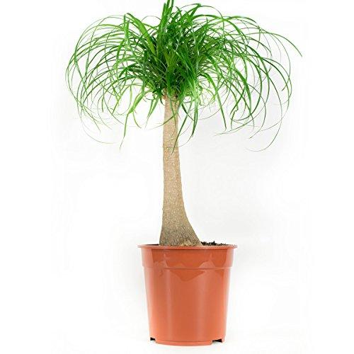 Plante d'intérieur de Botanicly – Noline recourbée – Hauteur: 80 cm – Beaucarnea recurvata