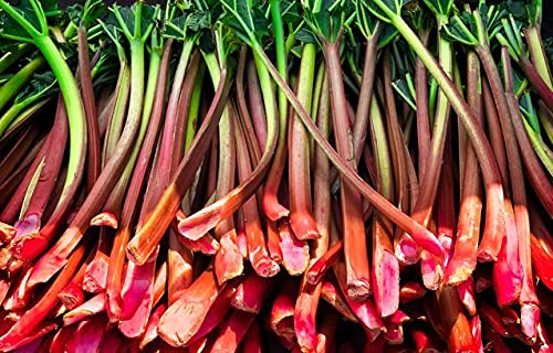 500+ Rhubarb Seeds for Planting Outdoor- Heirloom Rare Large Red Green, Heavy...