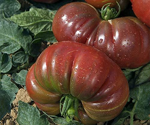 Bobby-Seeds Tomatensamen Purple Calabash Portion