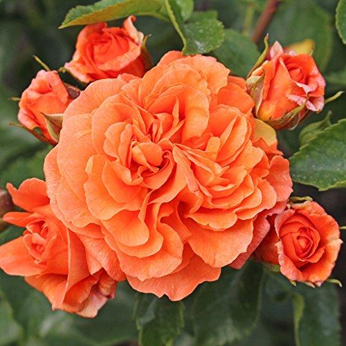 Kordes Rosen Orangerie Beetrose, orange, 12 x 12 x 40 cm