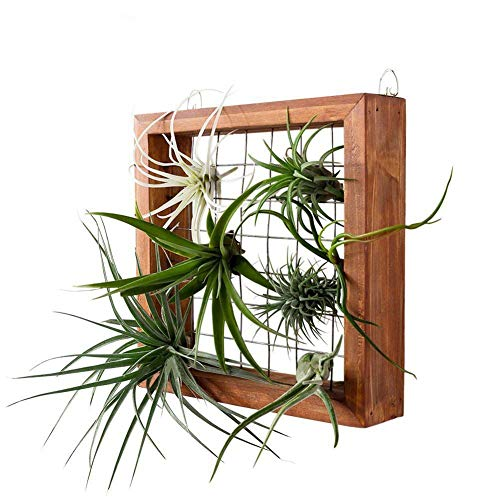 Marco de la planta de aire colgantes Airplant Holder, Tillandsia Display colgador de pared Holder, suculento de Soporte de madera Flor Planter Plataforma Cesta para la Casa de las plantas