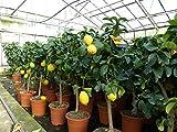 Grünwaren: echter Zitronenbaum 75-100 cm Zitrone Citrus Limon Zitruspflanze
