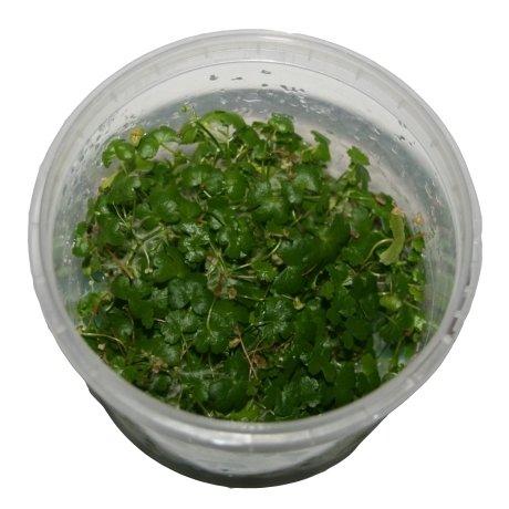 1 Dose Hydrocotyle tripartita Japan in vitro, Wasserpflanzen steril angezogen