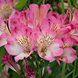Seeds - 20 Pink White Alstroemeria Lily Seeds Flower Seed Perennial Flowers, Flowering Seeds