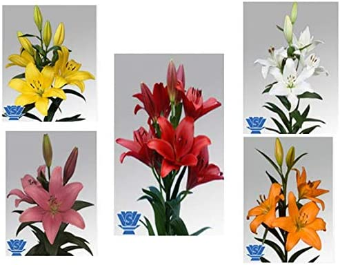 """Urban Gardens Asiatic Lily/Lilium Bulbs (Pack Of Five Varieties) Buy With Urban Gardens For Best Results"""""""