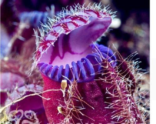 25 Pitcher de Spike plante carnivore Graines de fleurs Bug Flytrap alimentaires exotiques Fly