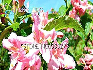 5 Samen Alpenveilchen Winterharte Pflanzen Blumensamen Exotische Zierblumen U065