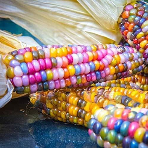 Masoke SemillaCasa - Raras Semillas de Palomitas de Maíz Colorido Dulce Harina de Maíz Mazorcas de Maíz Semillas de Verduras Semillas de Maíz (50 Pcs)