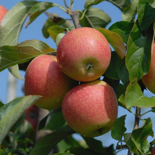 Apfel Pinova, Busch