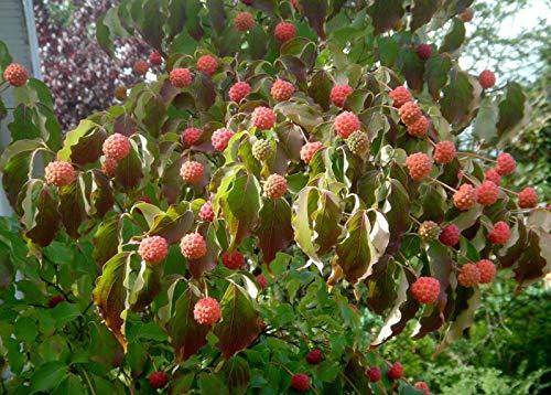 Chinesischer Blumen-Hartriegel Cornus kousa var. chinensis Pflanze 15-20cm
