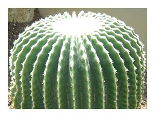 Echinocactus grusonii v brevispinus - Coussin de belle-mère – sans épines - 5 graines