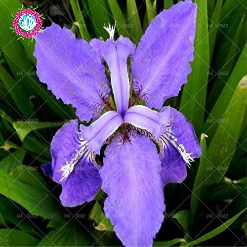 Graines rares Bule Iris Bonsai, fleur de jardin vivaces en pot, les graines de plantes bonsaïs pour intérieur ou extérieur, de couleur différentes, 20pcs/sac 12