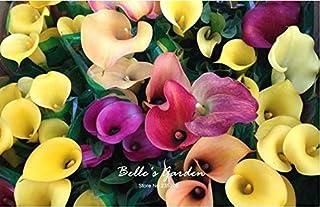 100pcs multi-colores de la cala Semillas de plantas resistentes semillas de flores exóticas Semillas ornamentales Flores B...