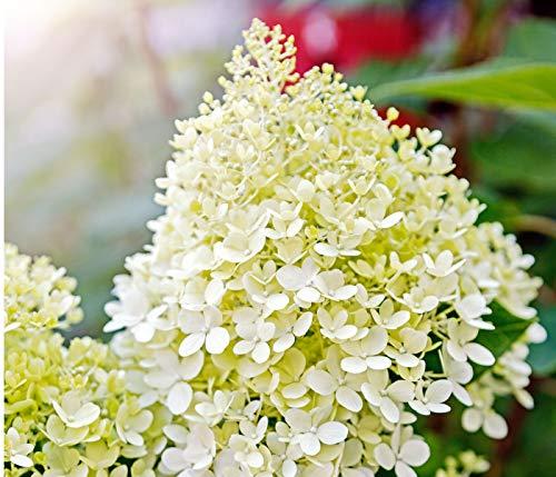 Dehner Rispen-Hortensie Limelight, weiße Blüten, ca. 40-60 cm, 7.5 l Topf, Zierstrauch