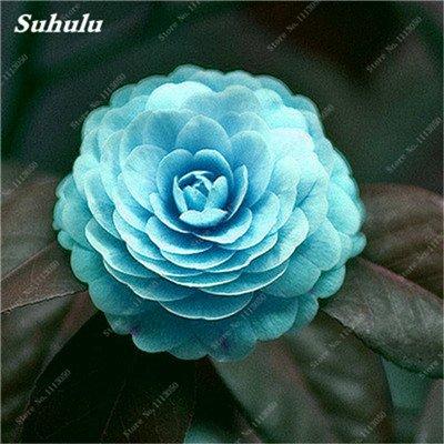 Grosses soldes! 10 Pcs Camellia Graines, Graines Bonsai Fleur, couleur rare, bonsaïs d'intérieur / extérieur Plante en pot pour jardin Facile à cultiver 3