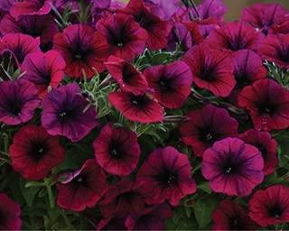 10 seeds of Trailing petunia Shockwave Deep Purple Flower