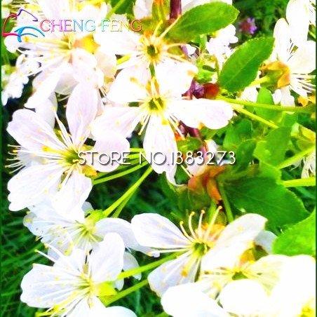 * 100pcs / sac Beau Graines Cerasus Intéressant Fleurs Flora Seed Semillas Bee cadeau Livraison gratuite