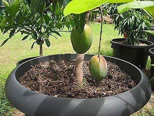 Rare Delicious Exotic Dwarf Mango Tree Seeds Bonsai Garden Fruit Potted Plant